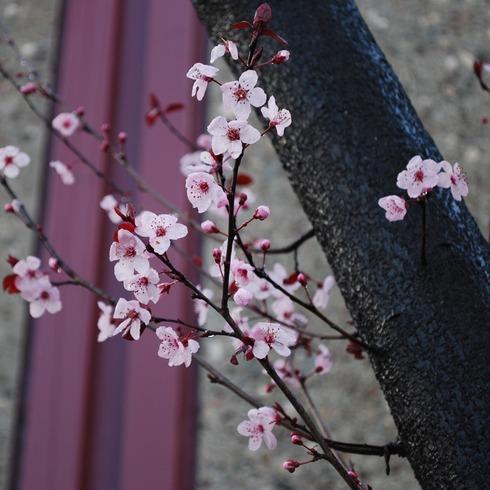 CherryBlossom_GilmanStreet,BerkeleyCA_February13,2009_0838am.jpg